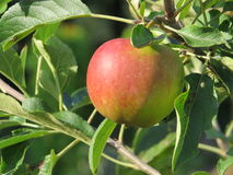 Red apple. Organic lifestyle - a red apples on a tree stock photography