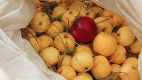 Red apple of other color. Harvest of ripe small apples stock video