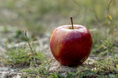 Red apple on a rock in nature Royalty Free Stock Photo