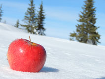Red Apple on Snow. Pine trees on background Royalty Free Stock Image