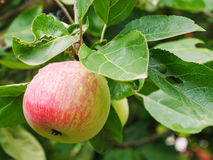 Red apple on sprig close up in fruit garden Stock Photo