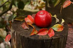 Red apple on a stump with autumn leafs Stock Photo