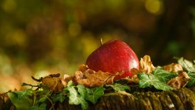Red apple on the stump in the forest close take royalty free stock photography