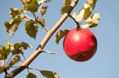 Red apple on tree Royalty Free Stock Photo