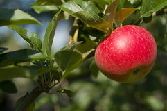 Red Apple on a Tree Royalty Free Stock Images