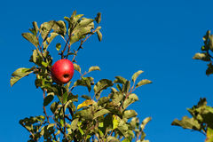 Red apple on a tree Royalty Free Stock Photos