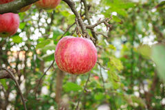 Red Apple in a Tree Stock Image