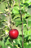 Red Apple on a Tree Stock Photography