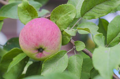 Red apple on the tree Royalty Free Stock Photos