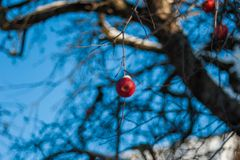 A red apple on a tree, apparently the last of the season, covered with snow stock photo