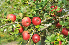 Red apple in the tree Royalty Free Stock Image