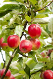 Red Apple Tree Stock Photography