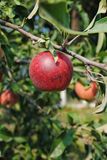 Red apple on the tree Stock Photography