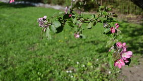 Red apple tree blooms. Red apple tree branch twig flower blossoming move in wind at spring time stock video footage