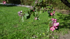 Red apple tree blooms. Red apple tree twig branch flower blossoming move in wind at spring time stock video