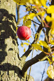 Red apple on tree with blue sky on background. Stock Image