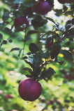 Red apple on a tree Royalty Free Stock Photo