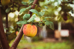 Red apple on a tree. Red apple on branch in the fruit garden Stock Photos