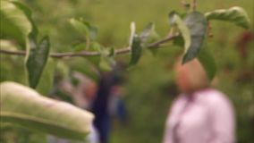 Red apple on a tree branch. A slow pan to right shot of a red apple on a tree to a blurred people talking in the background stock footage