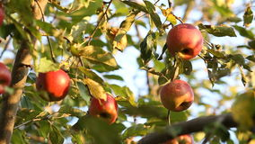 Red apple on tree branch. In wind stock video