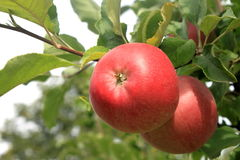 Red apple on a tree Stock Images