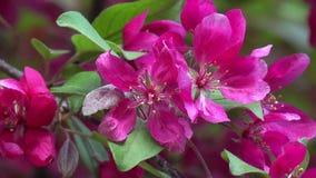 Red apple tree flowers. Macro view of red apple tree flowers in spring stock video footage