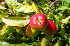 Red apple on the tree Royalty Free Stock Images