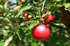 Red apple on a tree in the garden. Royalty Free Stock Images