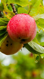 Red apple in the tree Royalty Free Stock Photos