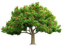 Red apple tree isolated Stock Photos