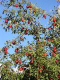Red apple tree in the my vilage royalty free stock photos