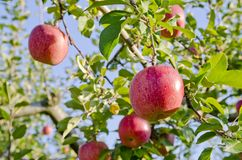 Red Apple on the tree Royalty Free Stock Photography