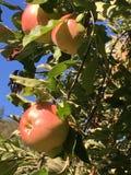 Red Apple Tree Royalty Free Stock Photos