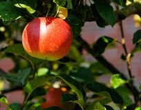 Red Apple on Tree in Tilt Shift Lens Stock Photography