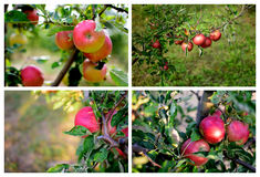 Red apple tree. S in orchard Stock Photo