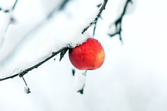 Red apple on the white snow Stock Photography