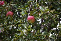 Red apple with yellow stripes in tree Royalty Free Stock Photography