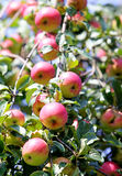 Red  apples. On the tree Stock Photography