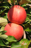 Red apples. Apples in a tree Stock Image