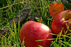 Red apples. Two red apples on the green grass nature background royalty free stock photos