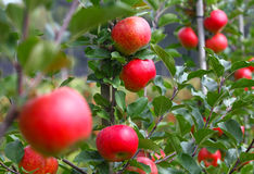 Red apples. Some red Apples are ready for picking Stock Image