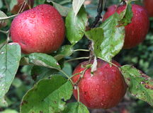 Red apples. On the tree Royalty Free Stock Image