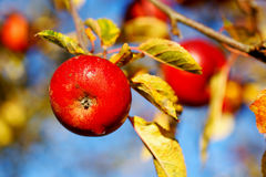 Red apples. Hanging from a tree Stock Images