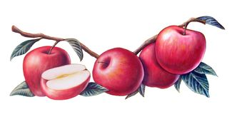 Red apples. Some red apples over a white background. Hand painted illustration Stock Images