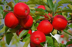 Red Apples. On a apple tree in autumn Royalty Free Stock Image