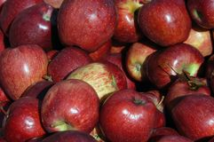 Red Apples. Apple harvest from a northern Virginia orchard royalty free stock image