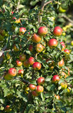 Red apples. Branch of ripe apples Royalty Free Stock Image