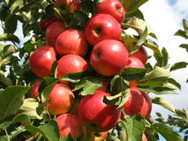 Red apples. On a apple tree Stock Images