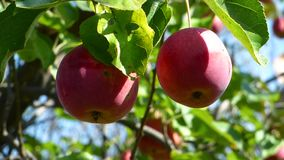 Red apples against a blurred background foliage. Leaves move on the wind. Natural organic food on the tree. Sunny summer day stock footage