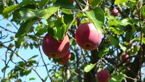 Red apples against a blurred background foliage. Leaves move on the wind. Natural organic food on the tree. Sunny summer day stock video footage
